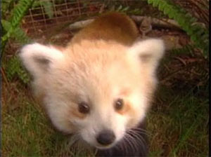 Farley the little Red Panda : )